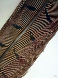 Common pheasant feather (Phasianus colchicus)