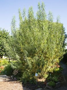While the long, slender branches of most willow tree species lend themselves to creation of beautiful woven baskets, certain larger willow species are preferred. Click this article to learn more about growing willow plants for baskets.