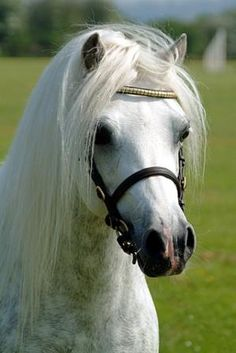 The Welsh Mountain Pony - So pretty.  Looks like a miniature Arabian.... and knows it!  Very cheeky.