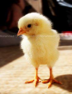 Civciv, chick, McChicken :)