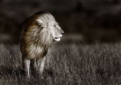 Black Maned Lion 2 via MuralsYourWay.com