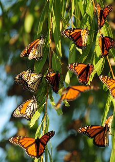Monarch Butterflies in Pacific Grove, CA ~ Sharing beautiful pictures of Monterey County, CA courtesy of Pinterest. If you would like to live in Monterey County please visit www.MCAR.com to find a REALTOR® who can help you with all your Real Estate needs.