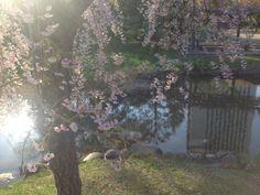 桜にそそぐ光