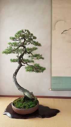 Watering your bonsai correctly is the most essential skill to master to guarantee a nutritious plant. In the event the Bonsai dies it can be quite a traumatic experience that could be likened to having your family dog die. Wisteria Bonsai, Bonsai Garden, Ficus, Ikebana, Plantas Bonsai, Juniper Bonsai, Bonsai Styles, Indoor Bonsai, Pot Plante