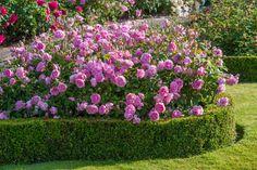 English Rose, Harlow Carr (Aushouse)