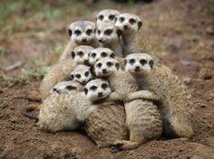 Africa    Meerkats....Okay now everybody say cheese....  © Fajar Andriyanto
