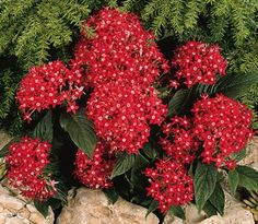 Pentas - if you deadhead them occassionally they will get bushy and keep reblooming all summer long.