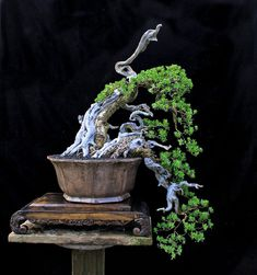 Pemphis acidula ️Bonsai Tree️More Pins Like This At FOSTERGINGER @ Pinterest♓️