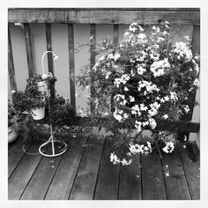 My blooming Jasmine