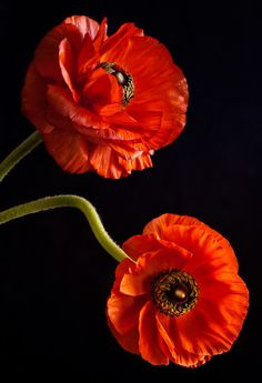 Georgia's Wish © 2012 Dawn LeBlanc. All rights reserved. Poppies are my favorite flowers. Flowers Nature, Exotic Flowers, Amazing Flowers, My Flower, Red Flowers, Flower Art, Flower Power, Beautiful Flowers, Simply Beautiful