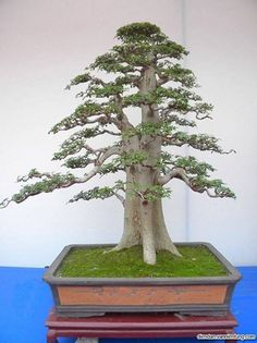 Bonsai                                                                                                                                                                                 More