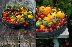 Tomatoes by Cintamani