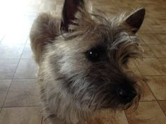 Blinky Cairn terrier | Pawshake
