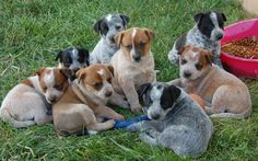 Australian Cattle Dog Puppies ♡