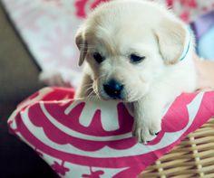 White Lab puppy