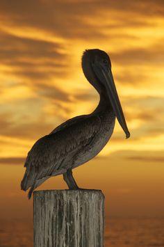 Brown Pelican (Pelecanus Occidentalis) © John H. Henderson/ Stockfresh