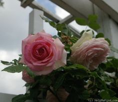 'Pierre de Ronsard ' Rose Photo