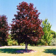 Najlacnejšie okrasné dreviny - Javor - Javor jaseňolistý Royal Red 140/160 cm, v črepníku 10 litrov Acer platanoides Royal Red