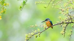 In Early Spring ! , Kingfisher by Mubi.A