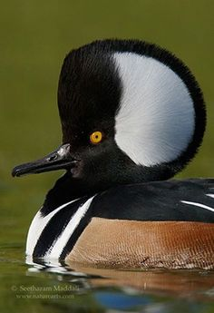 hooded merganser | Hooded Merganser: Cosmo Couture