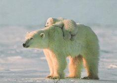 polar bear cute arctic white animal wildlife snow winter