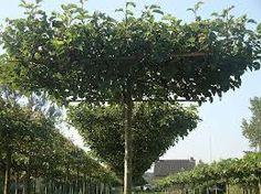 Liquidambar styraciflua 'Parasol' (dak Amberboom) prachtige dakboom met frisgroene kleur. In herfst schittende kleurschakeringen