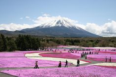 The stunning fields of Pink Moss Flowers at the base of Mount Fuji