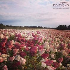 Field of Vanilla Strawberry Hydrangeas from First Editions Plants