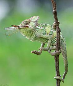 Enjoying Food - Veiled Chameleon