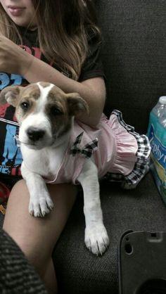 Zoey my American Bulldog pup Bull Dog, Boston Terrier, Pup, American, Dogs, Animals, Boston Terriers, Animales, Dog Baby