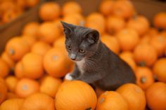 #fall #autumn #cat #pumpkins