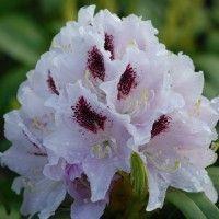 Le Rhododendron est un arbuste de terre de bruyère, persistant, à floraison éclatante au printemps. Nos conseils pour bien le cultiver et le tailler !