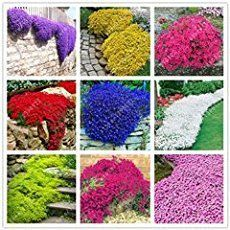 Cheap flower decorated cakes, Buy Quality flower bed decor directly from China flowers korean Suppliers: 100 pcs/bag Creeping Thyme Seeds or Multi-color ROCK CRESS Seeds - Perennial flower seeds Ground cover flower garden decoration Creeping Thyme, Beautiful Flowers Garden, Flowers Perennials, Flowering Ground Cover Perennials, Gardening For Beginners, Flower Seeds, Garden Supplies, Garden Planning, Garden Plants