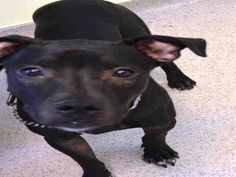 Manhattan Center BAILEY - A1014067 MALE, BLACK / WHITE, AM PIT BULL TER MIX, 10 mos STRAY - STRAY WAIT, NO HOLD Reason STRAY Intake condition EXAM REQ Intake Date 09/14/2014, From NY 10456, DueOut Date 09/17/2014, https://www.facebook.com/Urgentdeathrowdogs/photos/a.617938651552351.1073741868.152876678058553/870897902923090/?type=3&theater