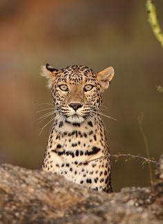 Spotted Beauty (Indian Leopard)  by Yashpal Rathore, via 500px