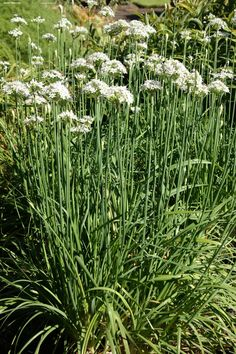 Allium tuberosum – chinese bieslook, kruid – vast plant, bloeit wit 6-9,.30-.75 hoog, kan gebruikt worden in salade, soepen, bij groente en vlees.