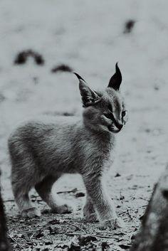Baby Lynx I want one