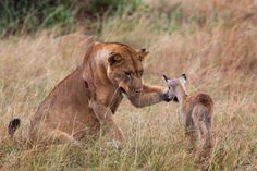 It was hard to find a person in the newsroom who wasn't captivated today by these pictures out of a national park in Uganda.  What seems like a deadly showdown between a lioness and a young antelope turns into a moment of tender affection as the lioness extends her paw.  Looks like the antelope won her over in the end.