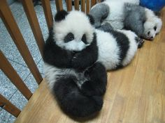 Omg!!! That is the cutest panda ever!!!!!