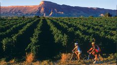 Bicyclists pass by vineyards in the Grand Valley with the Book Cliffs in the background.