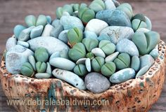 Organic Living Stones surrounded by inorganic stones. Argyroderma patens. Photo and design by Nick Wilkinson of Dig Nursery in Cambria, CA. Nice pot by Michael and Joyce Buckner of The Plant Man nursery in San Diego.