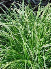 Carex dolichostachya 'Kaga-nishiki' GOLD FOUNTAINS - Plant Finder