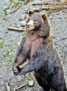 Tobi lives at the Fortress of the Bear rescue center in Sitka, Alaska. (Terry Gardner / August 5, 2012)