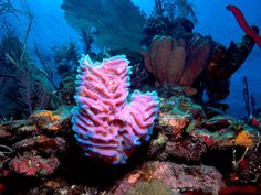 Belize Animals | ... 12 - Azure Sponge Glows Pink and Purple at Painted Wall Reef in Belize