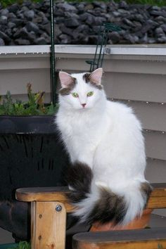 5ba6c03fcf Pictures of Turkish Van Cat Breed This one looks like Missy Mouse.