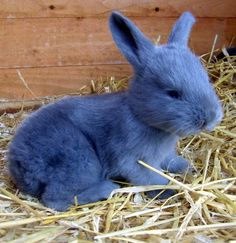 continental giant rabbit - Google Search