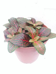 Red Veined Nerve Plant – Fittonia – E…