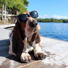 Bassett with sunglasses
