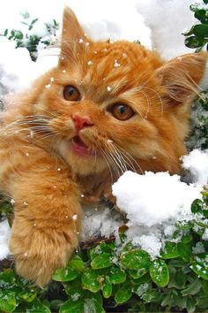 Ginger cat in the snow.