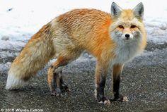 Cascade Red Fox